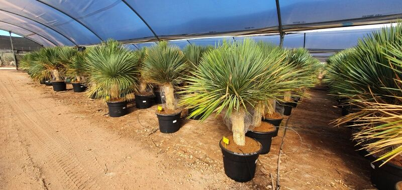 Yucca linearis normal 125-150 cm HT CT-45/65 lts