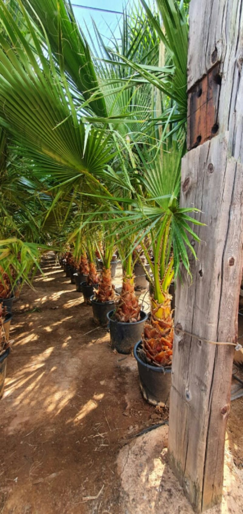 Washingtonia robusta 40-60 cm TR CT-25/35 lts