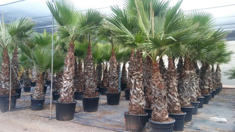 Washingtonia robusta 125-150 cm tr CT-70/110